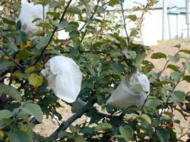 White paper bags covering apples on trees