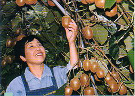 Woman farmer under a kiwi tree, holding a kiwi