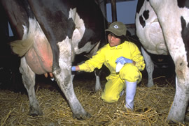 A farmer in bright yellow milks a cow by hand.
