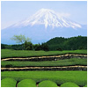 A field of tea plants with Mt. Fuji in the background.