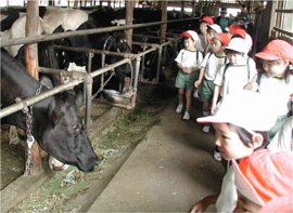 Elementary school students looking at a cow in a stall