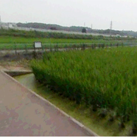 A virtual reality view from a road in a modern-day ricefield.