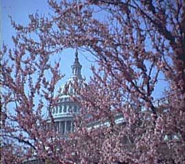 Cherry blossoms with US Capital in background.